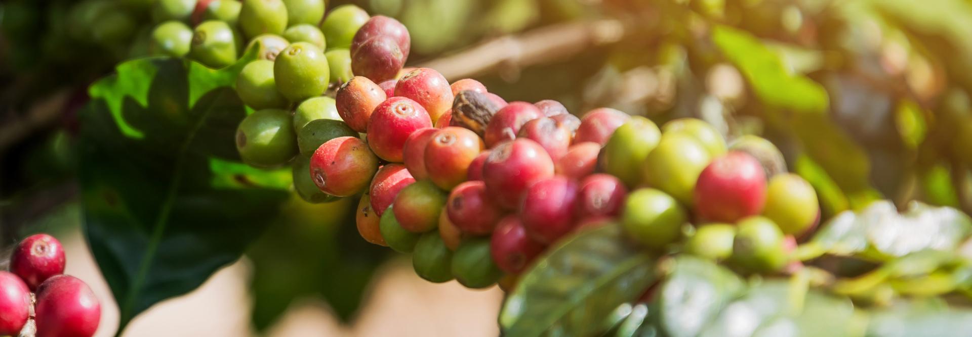 Header Koffiebessen in de zon.jpg